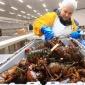 澳大利亚海产养殖  凯丽斯兄弟招聘  海产养殖工技术员